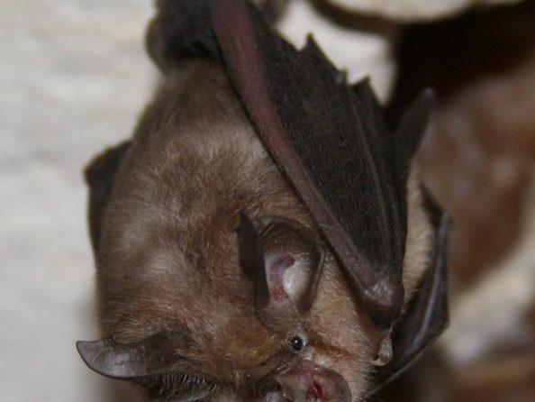 https://www.richardgreenecology.co.uk/wp-content/uploads/2012/05/Lesser-Horsehoe-Bat.jpg