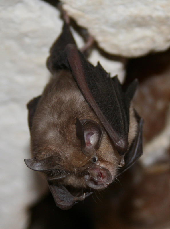 Lesser Horsehoe Bat