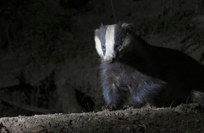 Badger Survey - Night Time