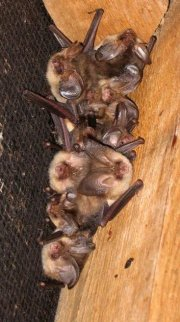 Bat Survey Season