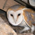 Ecological Surveys Overview - Owl