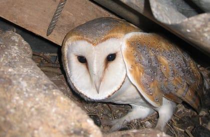 Ecological Surveys Overview - Owl
