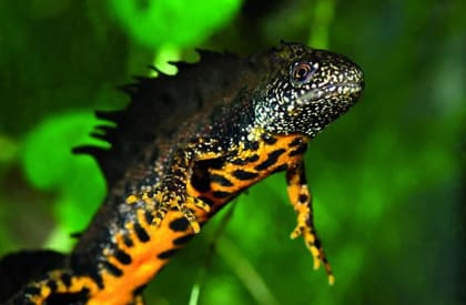 Great Crested Newt Survey