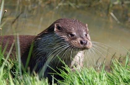 Otter Survey