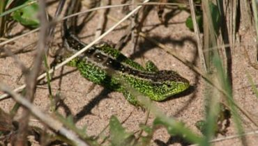 Reptile Survey - Sand Lizard