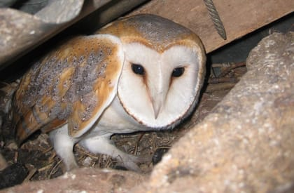 Bird Survey - Owl Licence