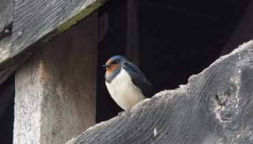 Bird Survey - Swallow