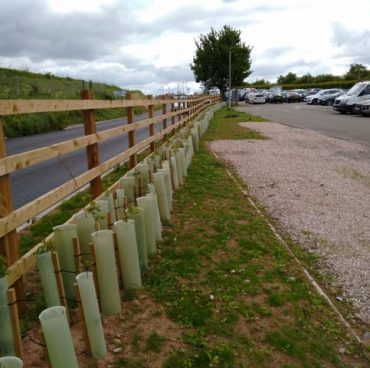 Replanted hedge immediately after road widening