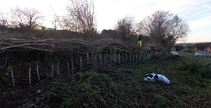 Conservation hedge-laying for dormice