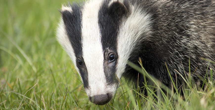 Badger Class Licence to undertake sett closure and destruction of setts (CL32)