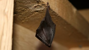 https://www.richardgreenecology.co.uk/wp-content/uploads/2018/09/lesser-horseshoe-bat.jpg