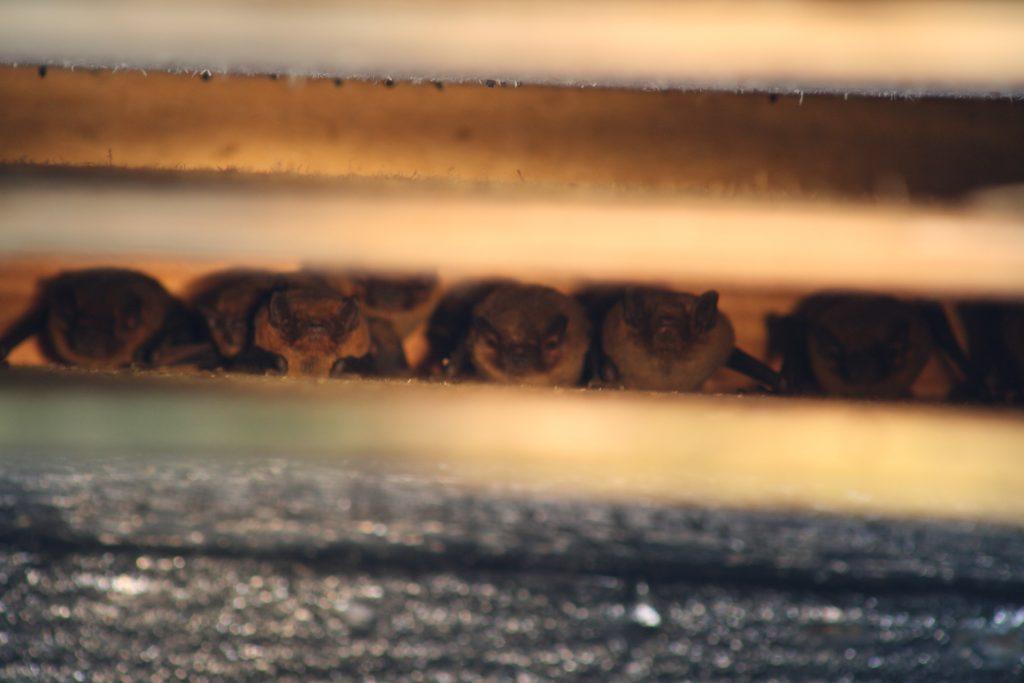 Successful bat mitigation