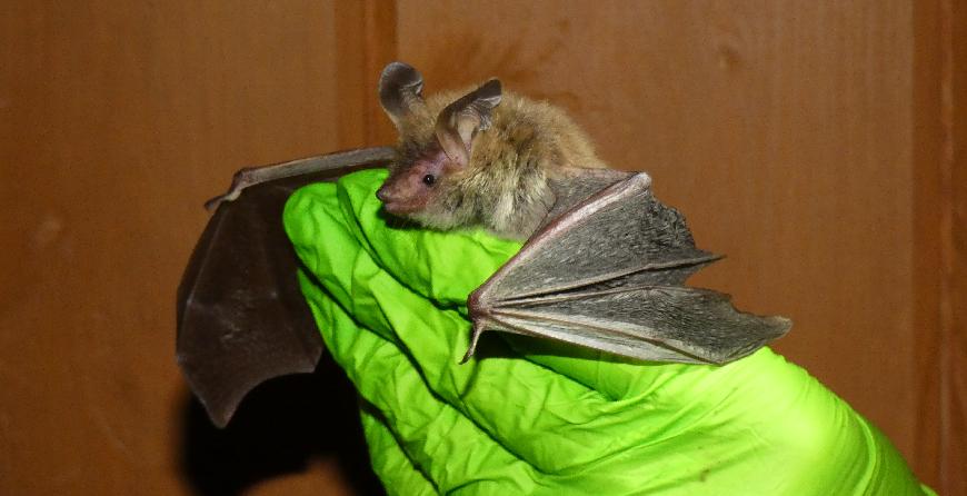Bat Ecologist Vacancy